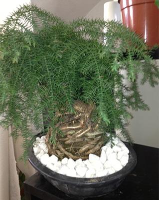 Tunisie garden plantes d 39 int rieur - Araucaria plante d interieur ...